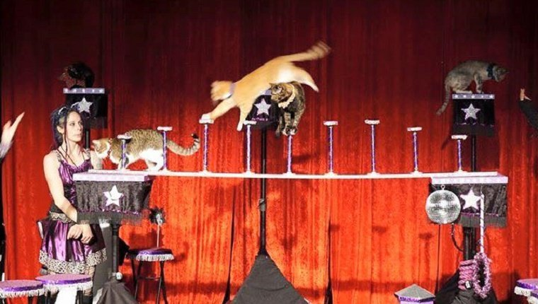 Several cats walk along a circus trick platform.
