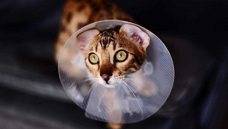 A Bengal Cat wears a medical cone around its neck.