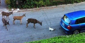 Cat Vs. Deer [VIDEO]