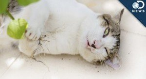 How Does Catnip Get Cats High? [VIDEO]