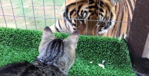 Watch Tigers Reaction To Domestic Cat [VIDEO]