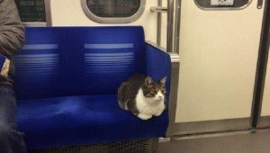 Polite Cat Has Been Commuting On The Train Alone Since 2013