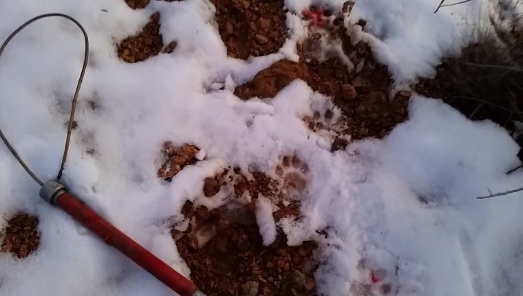 A catch pole lies in the snow next to paw prints