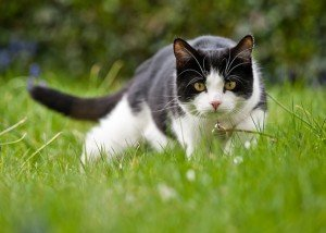 Domestic Cats Losing The Ability To Hunt?