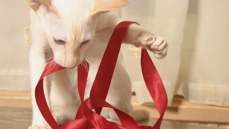 White Siamese cat playing with a red ribbon