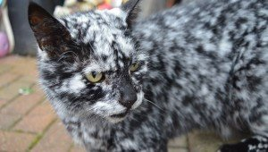 Rare Condition: Find Out Why This Black Cat Is Turning White