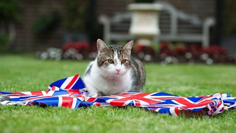 LONDON, ENGLAND - JUNE 1: Larry the Downing Street cat plays with bunting in the garden of number 10 Downing Street on June 1, 2012 in London, England. Four days of celebrations to mark Queen Elizabeth II's 60 years on the throne will start on Saturday. (Photo by Ki Price/WPA-Pool/Getty Images)