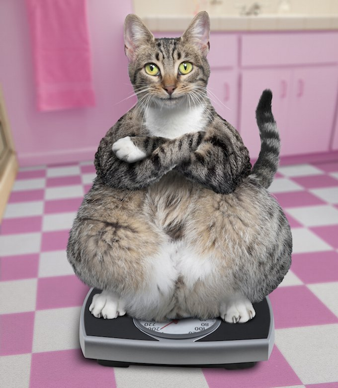 Overweight cat standing on bathroom scale