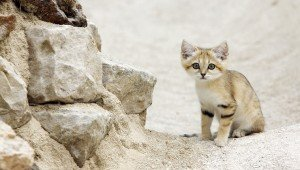Arabian Sand Cats Spotted In The Desert For The First Time In 10 Years