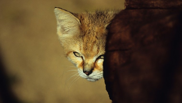 "The Sand cat (Felis margarita), also referred to as the ""sand dune cat"", is a small wild cat distributed over African and Asian deserts."