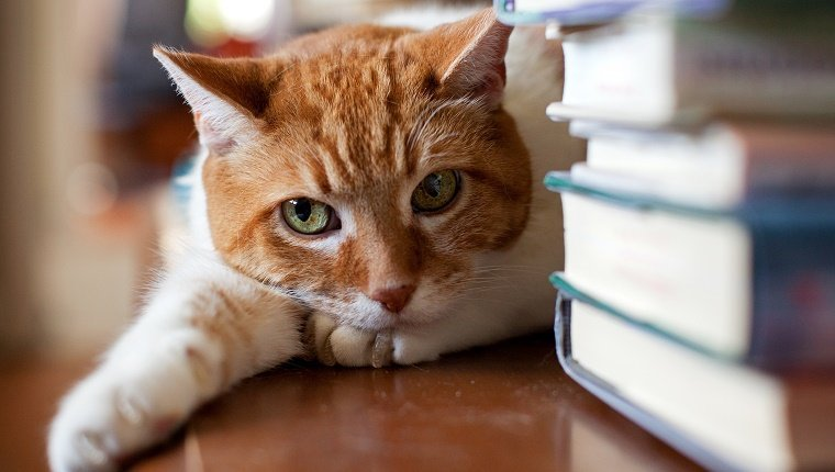Cat lies down near a stack of books and gives a judgemental glare.