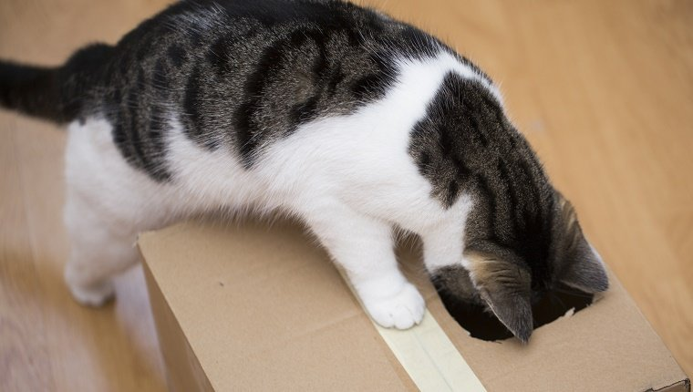 cat playing with cardboard box