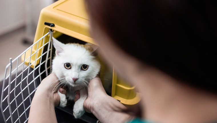 Unrecognizable veterinarian taking out a cat from a box.