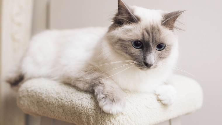 Ragdoll cat lying down