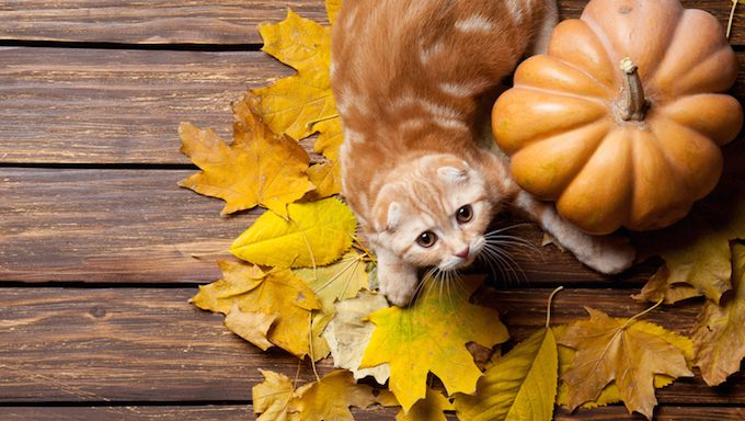 Ginger kitty and maple leafs near a pumpkin