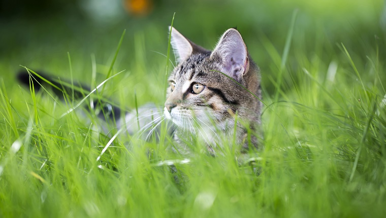 little tabby cat in green gras
