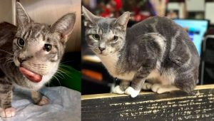 Cat With Huge Face Tumor Saved From Death Row Gets Surgery And A New Life