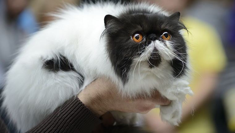 Persian cat being held at cat show