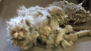 Cat With Five Pounds Of Matted Fur Becomes Internet Star
