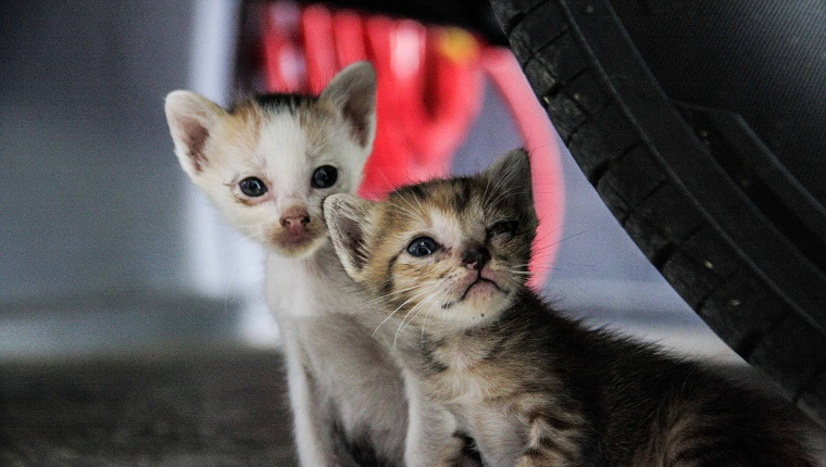 Close-Up Of Stray Kittens Below Car