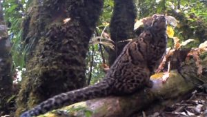 Mysterious Marbled Cat Caught On Camera, Plus The 10 Rarest Cats In The World [GALLERY]