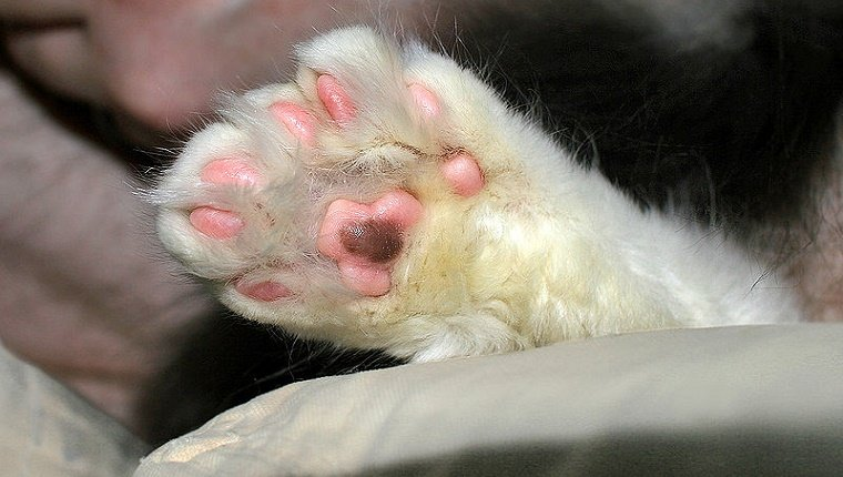 polydactyl-cats-4