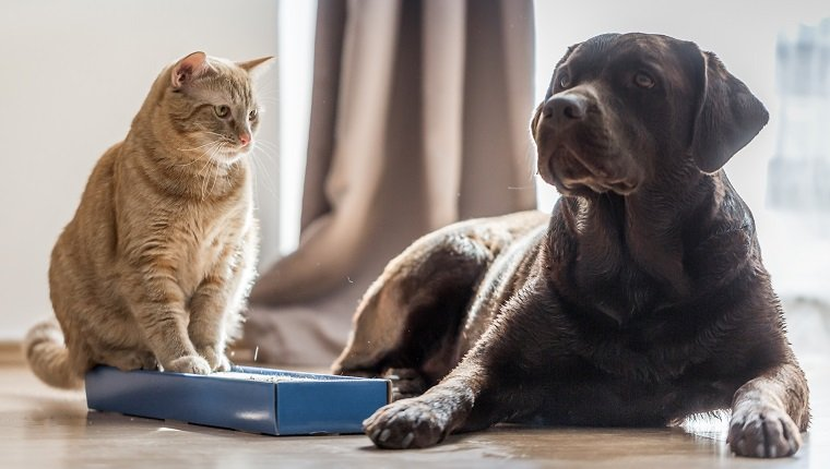 Close up shot of a brown labrador with cat