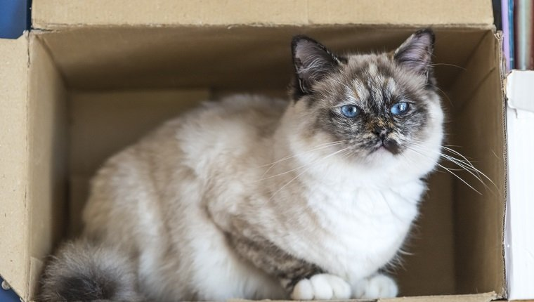 A seal tortie point Birman female cat perched inside a box. Color image portrait of purebred cat. Thirteen months old
