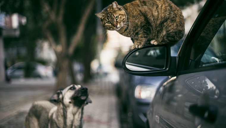 Stray Cat on Side-View Mirror and Stray Dog in The Street