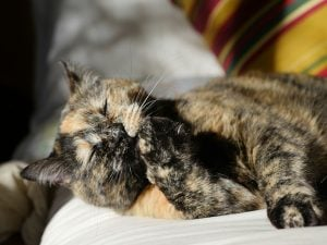 Tortoiseshell Cats: Fun Facts About Torties