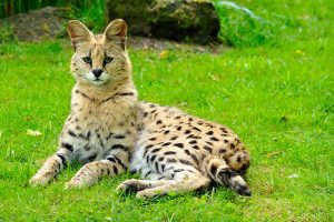 Exotic Cats: What Makes Them Exotic?
