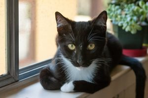 Tuxedo Cats: Fun Facts About The Tuxie