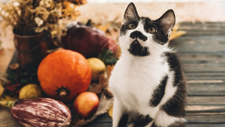 Happy Thanksgiving concept. Cute funny cat sitting at beautiful Pumpkin in light, vegetables on bright autumn leaves, acorns, nuts on wooden rustic table. Hello Autumn.