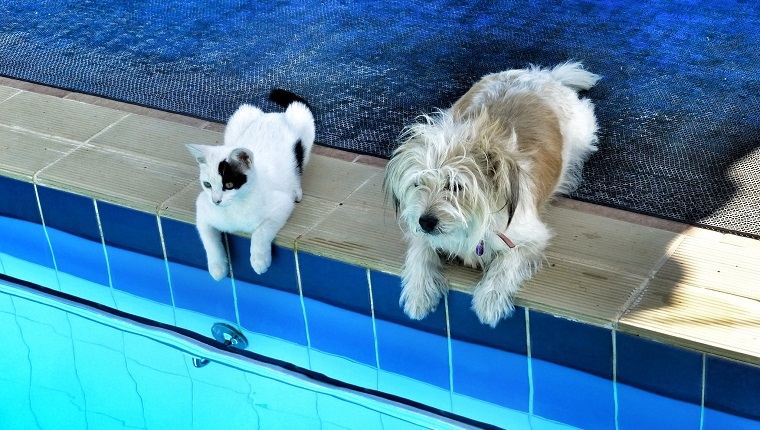 High Angle View Of Dog And Cat Sitting At Poolside