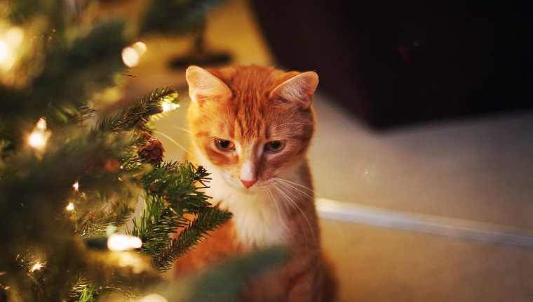 Orange cat sitting by lit Christmas tree.