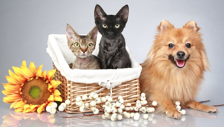 German Spitz dog with Devon Rex cats on a grey background