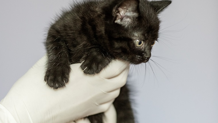 Little cat in the hands of a veterinarian. Concept pets, treatment, veterinary clinic.