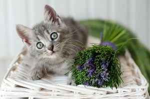Aromatherapy For Your Cat – The Best Oils To Use (And Avoid)