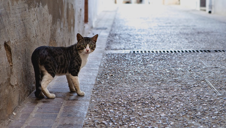 Cat walking the streets of Requena. A village located in Valencia, Spain.