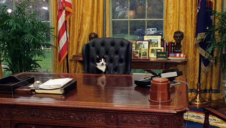 Socks the Cat, the First Pet of President Bill Clinton and First Wife Hillary Rodham Clinton, with black fur, white face, and amber eyes, seated at the tall leather chair behind the President's desk in the Oval Office, looking out into the room, Washington, District of Columbia, January 7, 1994. Courtesy National Archives.