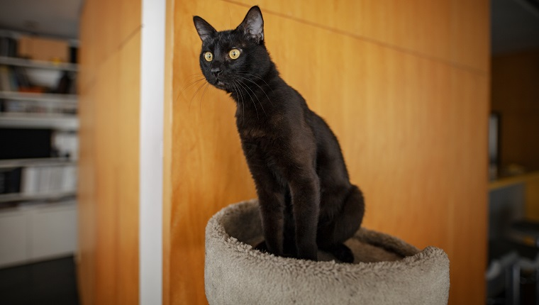 We see a black cat or Bombay cat on the image, he is happy at home, he is aware of something, something catches the attention of the little feline. The cat is attentive at something.