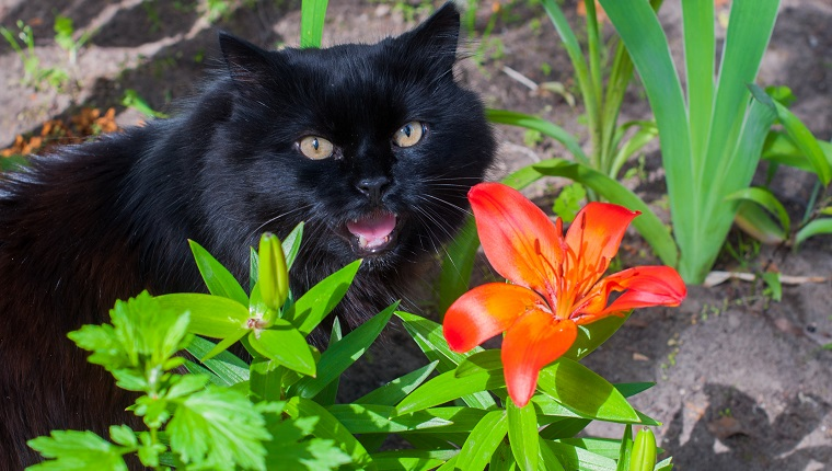 black cat is sitting near orange Lily
