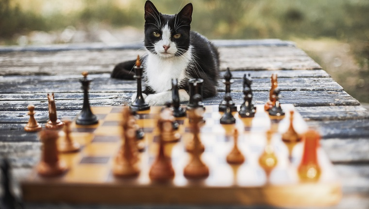 Portrait of cat sitting on wooden table with chess pieces in foreground at backyard in Ukraine, Kiev