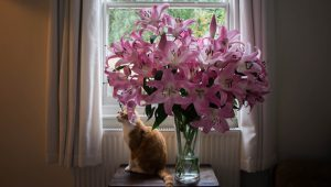 Are Lilies Dangerous For Cats?