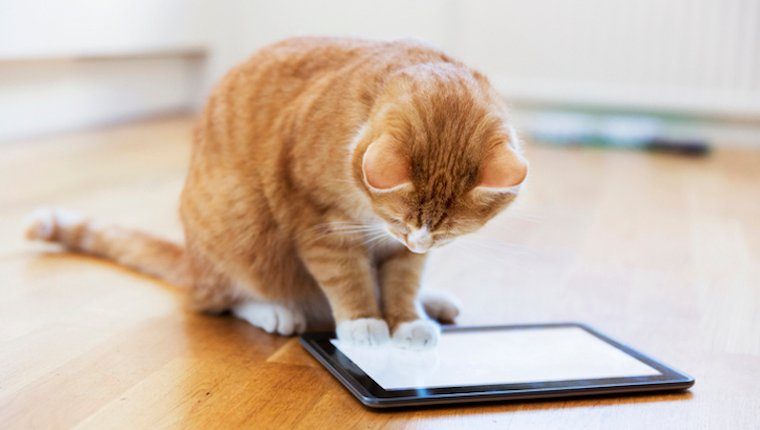 Cat looking at iPad