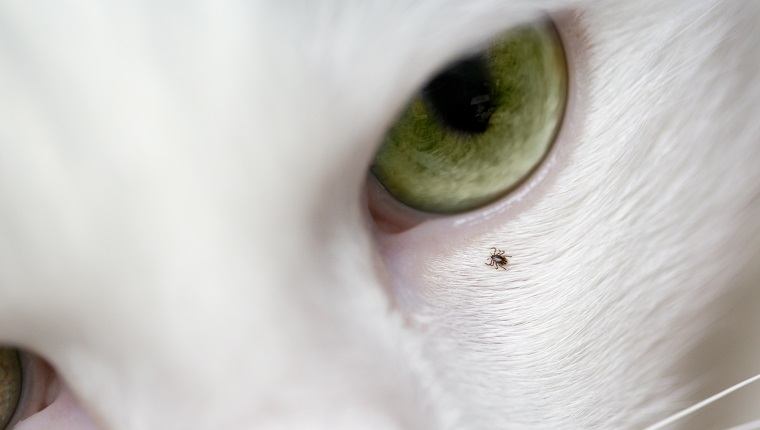 Macro of tick on cat's face, near eye