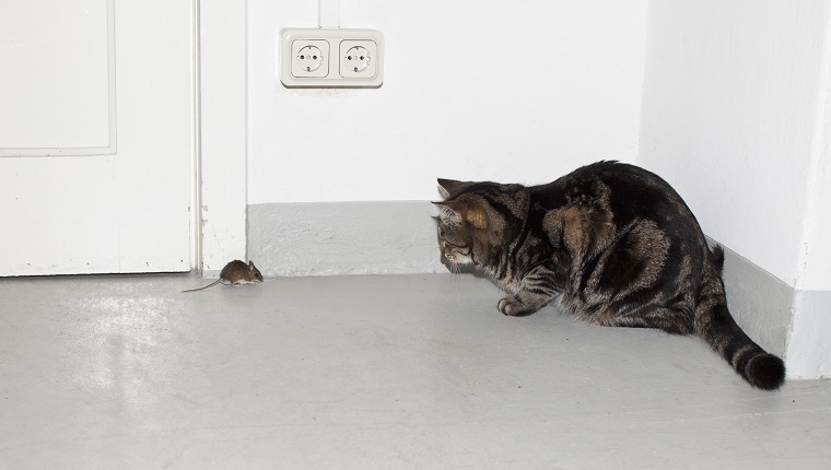 A cat and mouse facing each other
