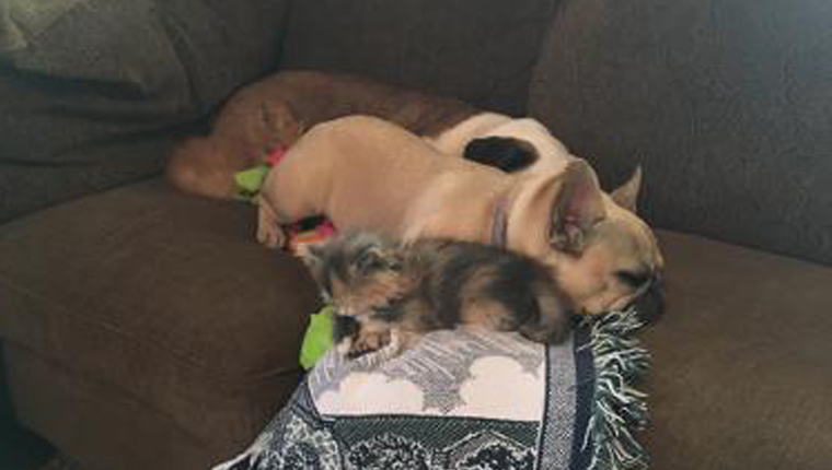 kitten lying down with dog
