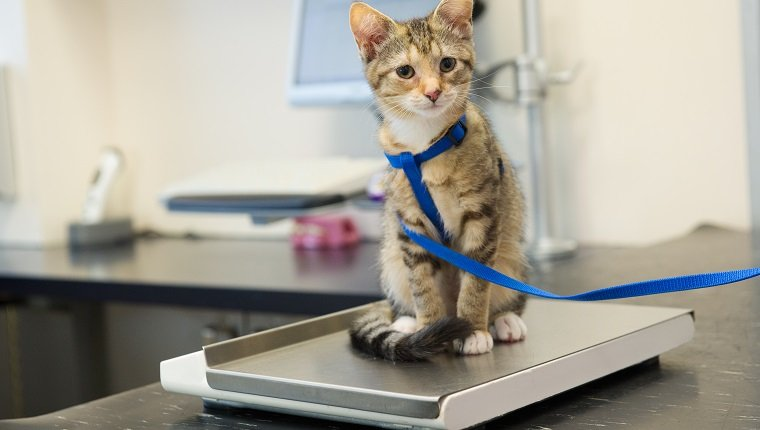 Little kitten on weight scale at the veterinarian