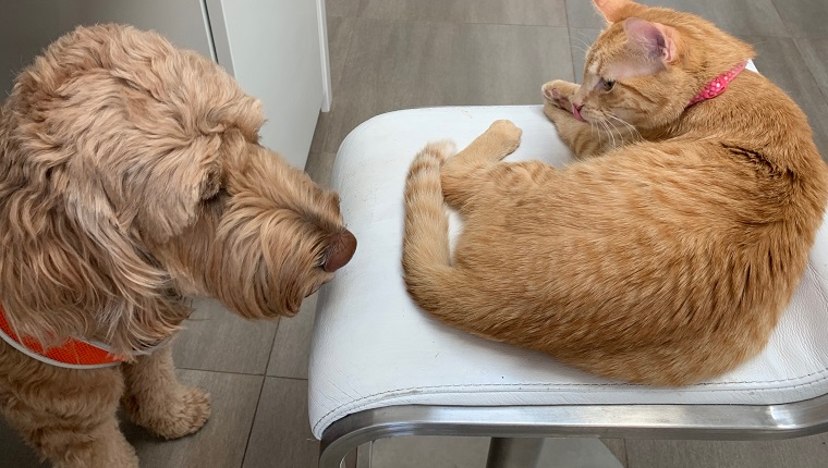 Doodle gets too close to confident tabby cat in a home kitchen